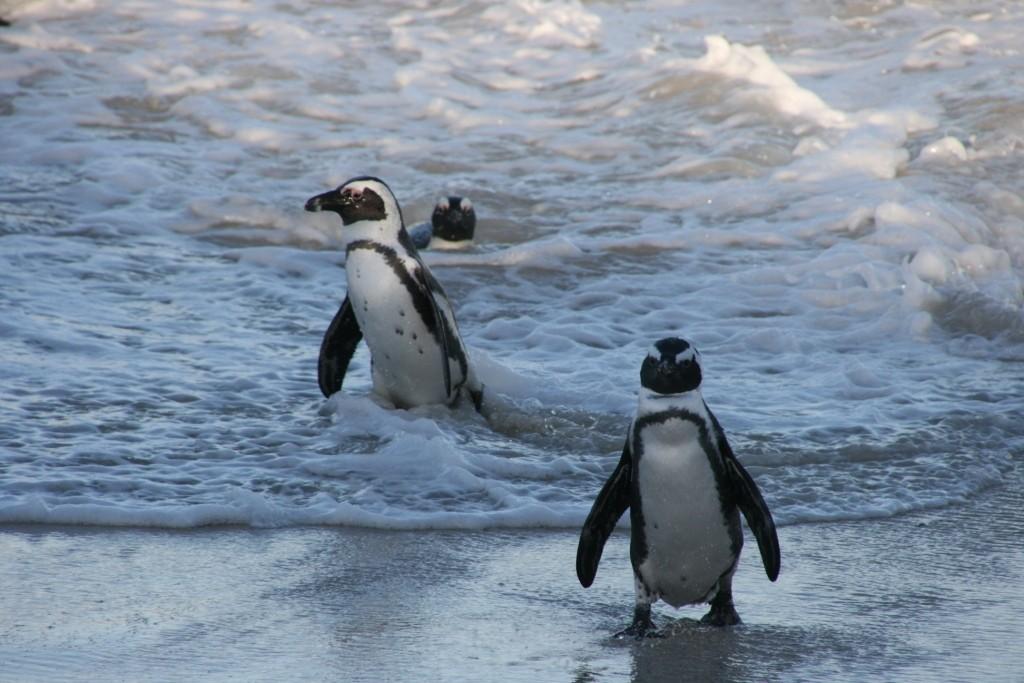Pinguine bei Simonstown