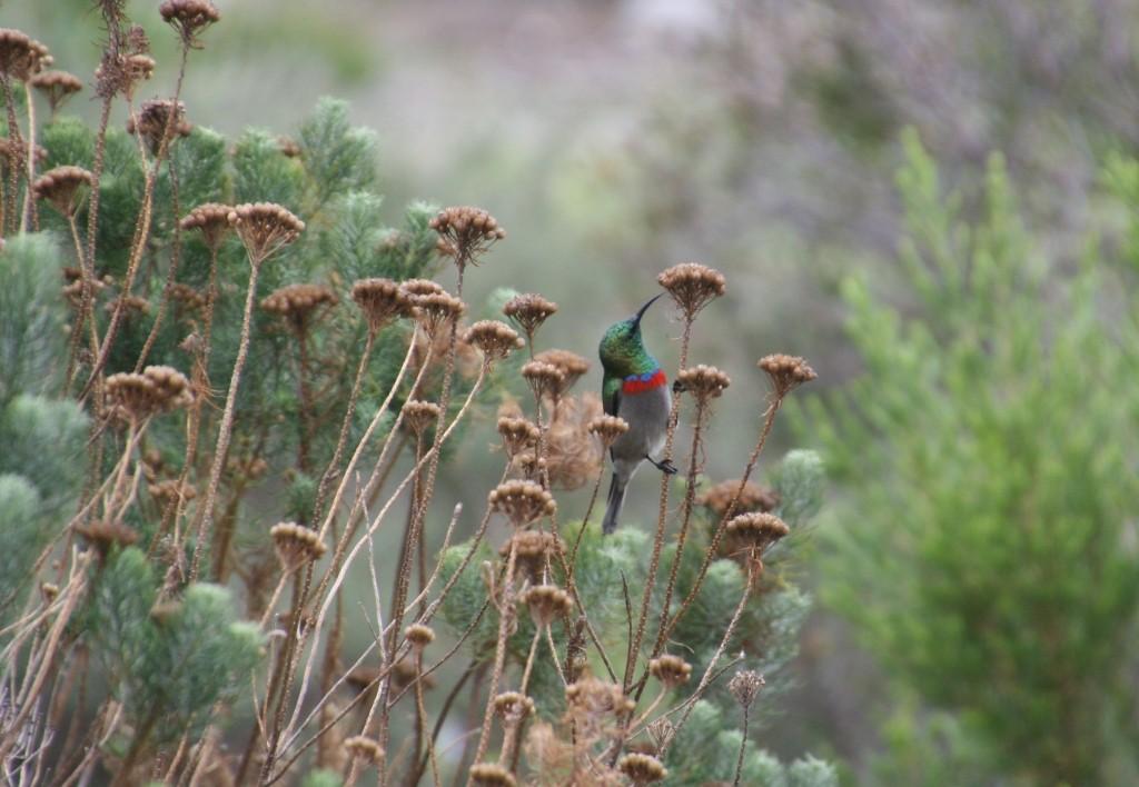 Miombonektarvogel, auch Blaubandnektarvogel, engl. Double-Collared Sunbird