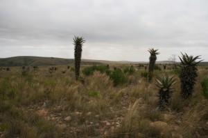 2 Aloen im Buntebok National Park
