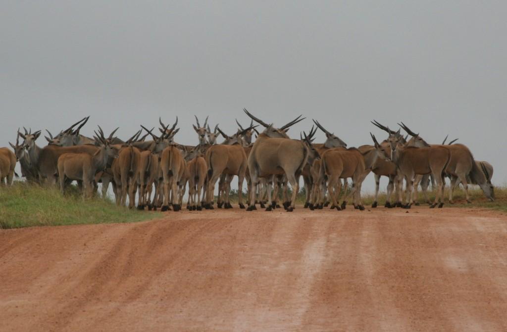 7 Elenantilopen